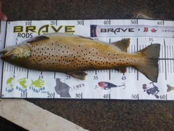 58cm+ Brown Trout from Toolondo 2